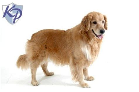 golden retriever puppies for sale in missouri puppies for sale missouri
