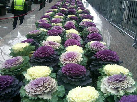 ornamental cabbage annual or perennial glorious ornamental kale the smarter gardener