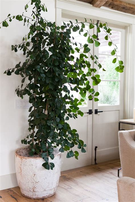 indoor decorative trees for the home ficus triangularis indoor plants pinterest gardens