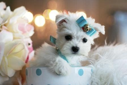 havanese puppies miami 17 best images about havanese puppies on best dogs toys and search