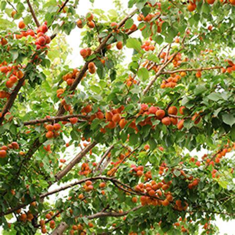 alberi bassi da giardino albicocco albero frutto giardino orto balcone