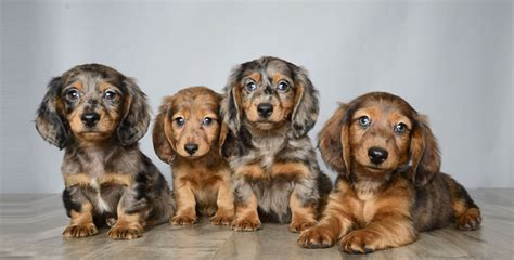 puppy stores orlando cocker spaniel yorkie mix search results dunia pictures