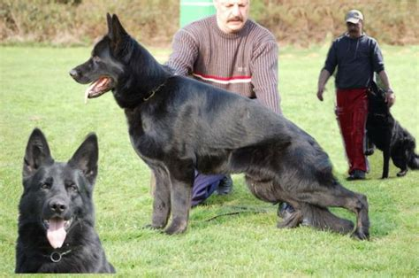 all black german shepherd puppies for sale nolan best black german shepherds
