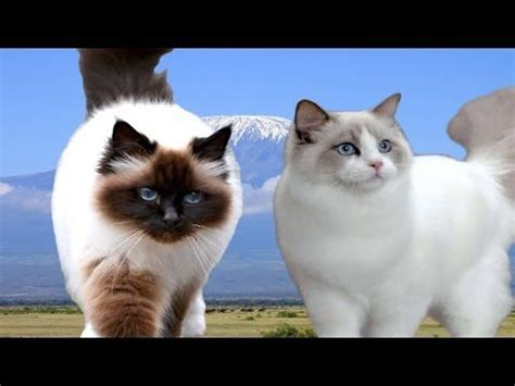ragdoll vs ragdoll birman vs ragdoll cat difference explained pussycats