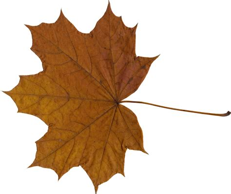 Maple Leaf 10 maple leaves png transparent onlygfx