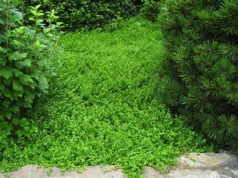 Green Carpet Rupturewort Seeds by Ground Cover Prostrate Neighborhood Nursery