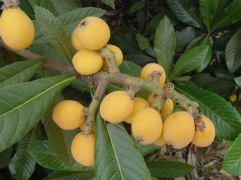 yellow fruit on tree plantanswers plant answers gt loquats