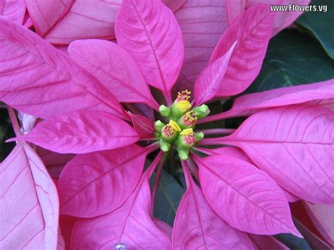 pink poinsettia colors pink flowers birds pinterest