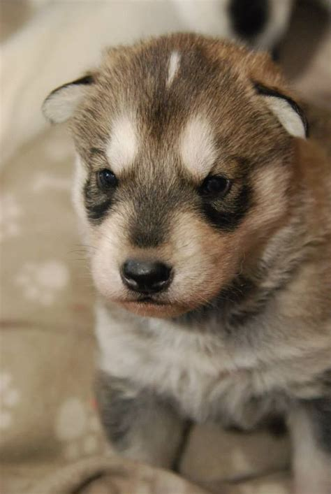 northern inuit for sale northern inuit puppies grantham lincolnshire pets4homes