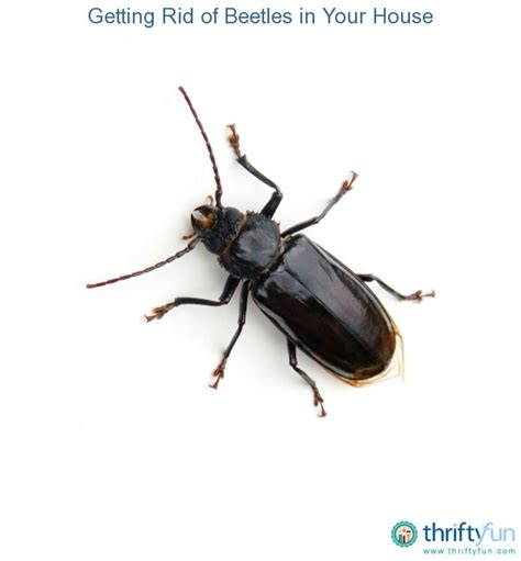 How To Get Rid Of Bugs In House 28 Images All About Boxelder Bugs How To Get Rid