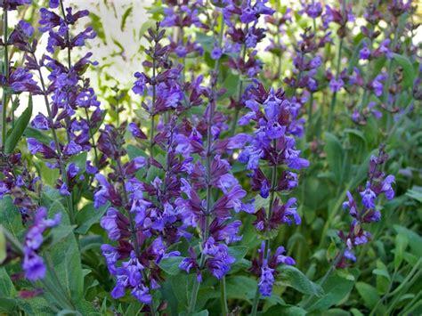 Permalink to shade plants zone 8 – Lonicera fragrantissima   Landscape Plants   Oregon State University