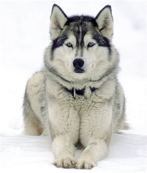 husky puppy facts 10 cool facts about siberian huskies dogs tips advice me