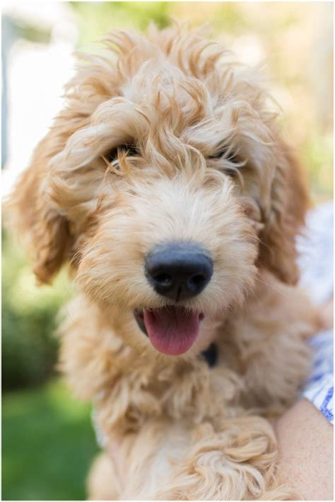 mini goldendoodles bc 130 best images about golden doodle grooming styles on