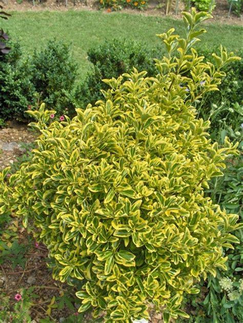Evergreen Shrubs Richmond va. Cross Creek Nursery & Landscaping