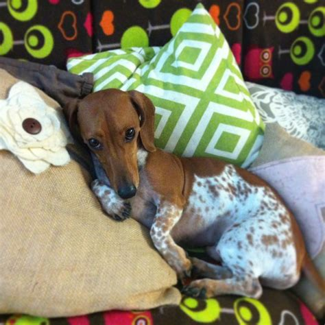 doxin dogs 17 best images about doxies on chihuahuas miniature and sweet