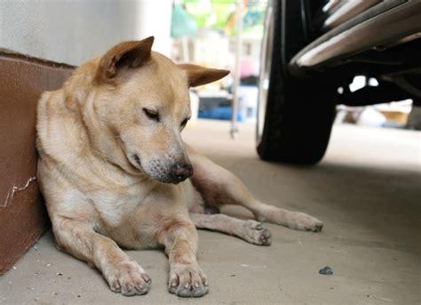 dogs and antifreeze antifreeze poisoning treatments antifreeze poisoning in dogs petmd