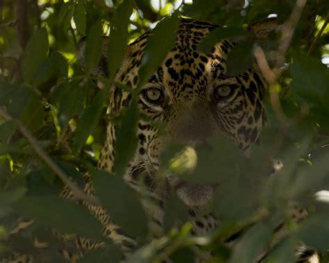 jaguars rainforest and the rainforest jaguars of the pantanal