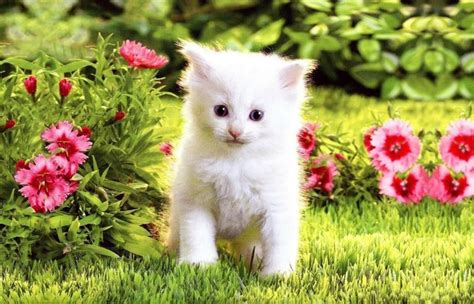 cat and images white cats and kittens wallpapers wallpaper