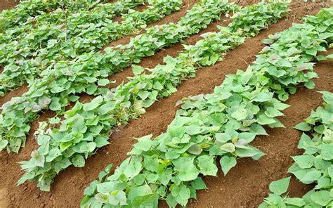 Bibit Ubi Jalar cara budidaya ubi jalar organik alam tani