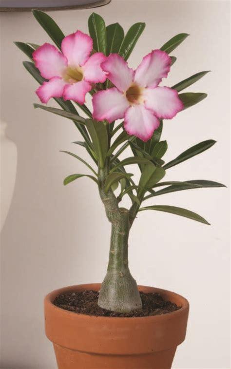 desert rose pink adenium obseum