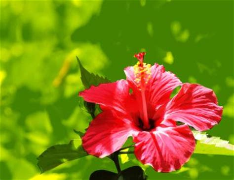 are hibiscus poisonous to dogs toxic tropical hibiscus dogs home guides sf gate