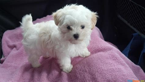 snowball puppy image gallery snowball