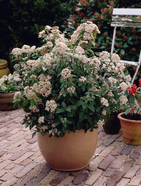 viburnum tinus shrub although shorter in pot - Evergreen Flowering Shrubs For Pots