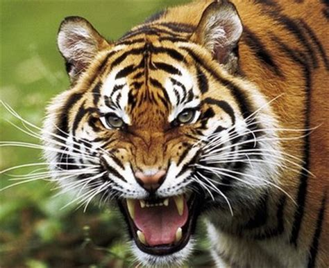 harimau lapar moved permanently