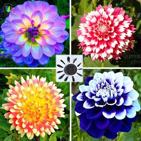 fiori dalia 25 bag dalia dalia fiore colori dalie semi per