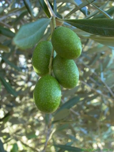 olive tree paragon   plants garden supplies
