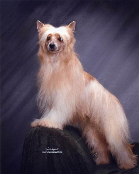 crested puppies available purebred crested puppies for sale find a purebred breeder near you