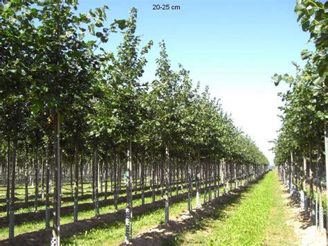 Japanische Bäume Für Den Garten Kaufen by B 195 164 Ume Dritter Ordnung Kaufen Ersatzpflanzung Mr