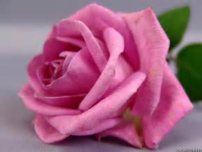 pink roses pink pictures images photos