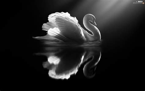 white and black wallpaper white black swans bird birds wallpapers 1920x1200