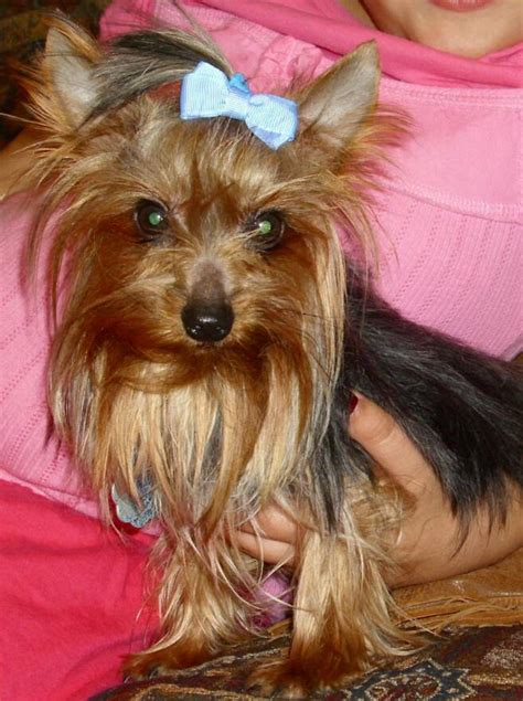 yorkie bows accessories pocketbook pups terriers puppies