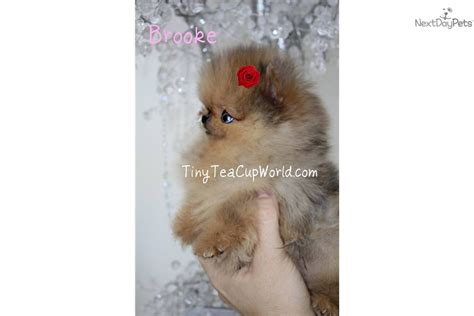 throwback pomeranian puppies for sale nose blue nose pomeranian husky mix grown breeds picture