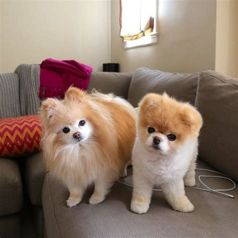 boo the teacup pomeranian 17 best images about pomeranian tip boo de vanzare on teacup pomeranian