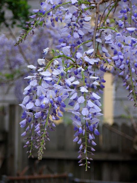 wisteria flower how to grow wisteria from seed pods