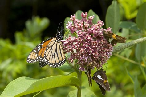 7 milkweed varieties and where to find them the