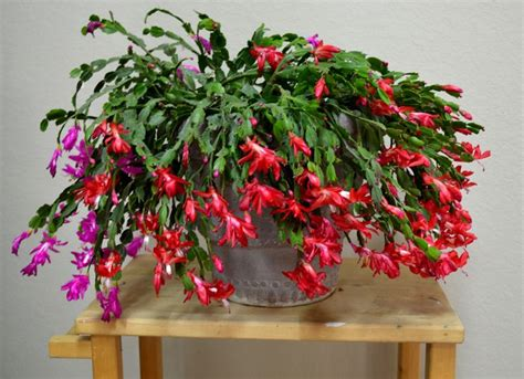 25 best christmas cactus images on pinterest
