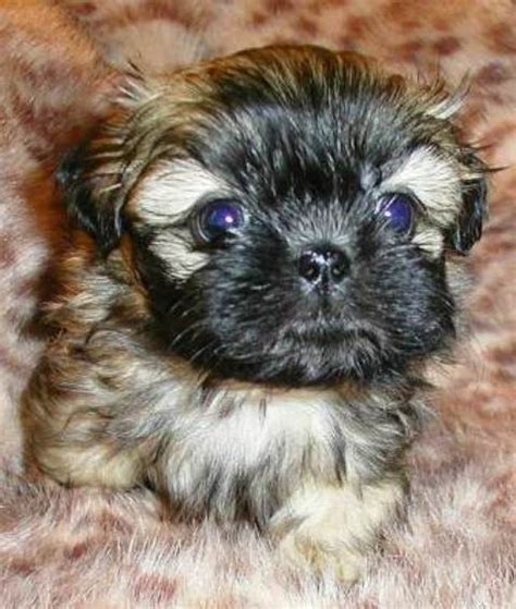 puppies for sale flint mi shih tzu puppies for sale in flint michigan