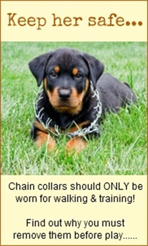 are rottweilers safe the best big collars a of rottweilers