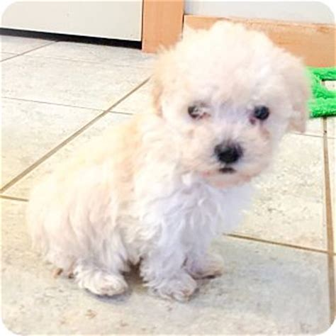 puppies in seattle maltipoo puppies dogs adopted puppy seattle wa maltese poodle miniature mix