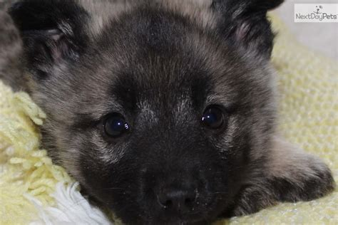 elkhound puppies for sale home breeds puppies for sale elkhound puppies breeds picture