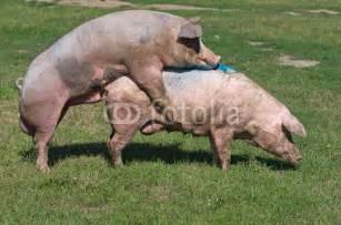sau decken fototapete schweine paarung auf bauernhof schwein