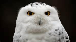 snowy barn owl snowy owl
