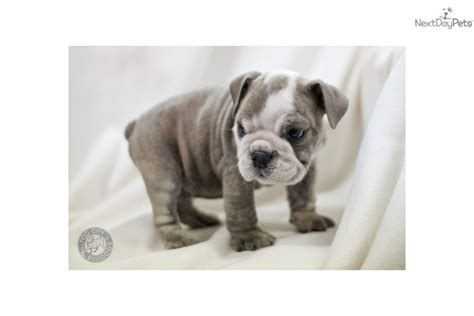 bulldog puppies for sale bay area bulldog in san francisco bay area breeds picture