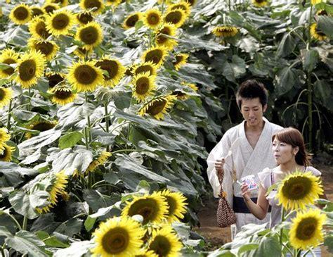 Bunga Bali Kembang Matahari himawari matsuri mekarnya ribuan bunga matahari
