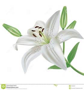 Lily Easter Flower - flor do l 237 rio isolada no fundo branco fotografia de stock