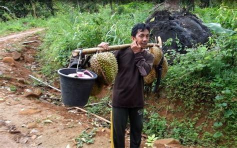 pertama  ikut serunya panen durian  mamuju barrabaa